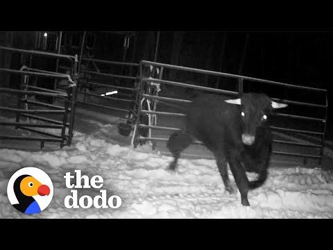 Cop Spends 8 MONTHS Trying To Catch An Escaped Beefalo #Video