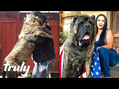 Ultimate Guard Dog Weighs 200lbs