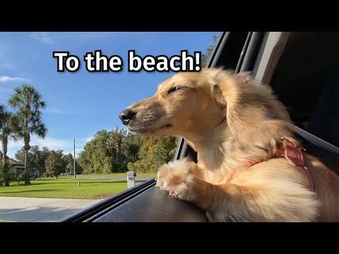 Crusoe & Daphne the Dachshunds Get Sand EVERYWHERE!