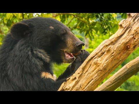 Feeding 39 Hungry Moon Bears Takes A Military-Style Mission Video!