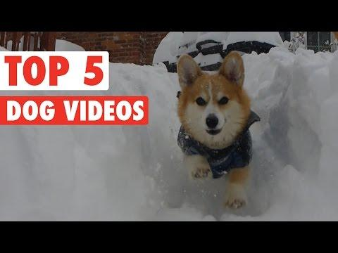 Top 5 Dog Videos || Feb 12 2016