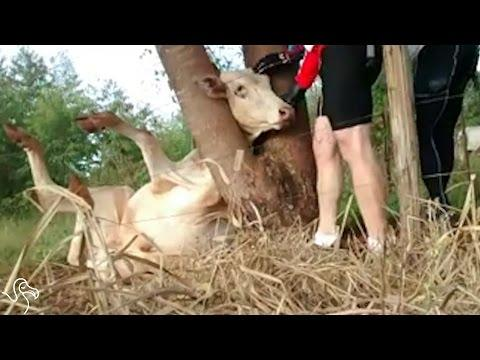 Men See A Cow With Her Head Stuck In A Tree And Rush To Help