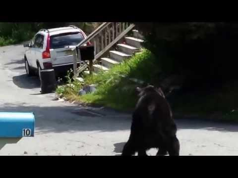 Extreme Bear Fight In Quiet Neighborhood Of Rockaway, New Jersey