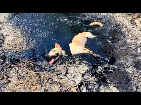 Dog Rescued From Tar Pit Video. Your Daily Dose Of Internet.
