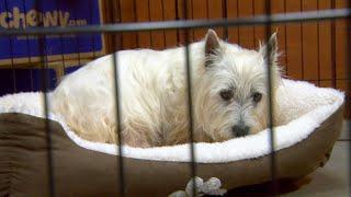Puppy Mill Rescue Lily Sees A Bed For The First Time | Dr. Jeff: Rocky Mountain Vet