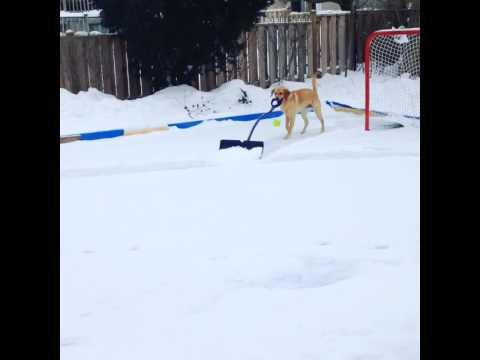 Smart Dog Helps With The Shoveling