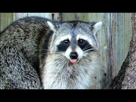 Raccoon Quality Time in the Backyard