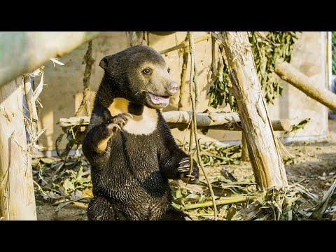 Orphan Sun Bear Gets A New Chance At Life Video | Bears About The House | BBC Earth