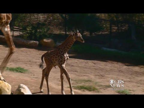 Santa Barbara Zoo Has A New Baby Giraffe
