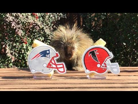 Teddy Bear The Porcupine Predicts Super Bowl 51
