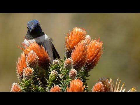 Birds of Ecuador, Antisana Volcano Video.