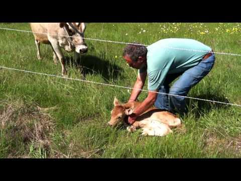 Finding The Lost Calf