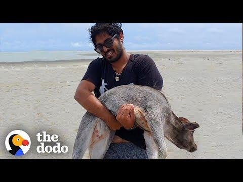 Guys Carry Baby Cow Stranded On Beach Until They Can Find Help Video | The Dodo