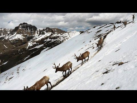 Stunning Footage: Epic Animal Migrations In Yellowstone