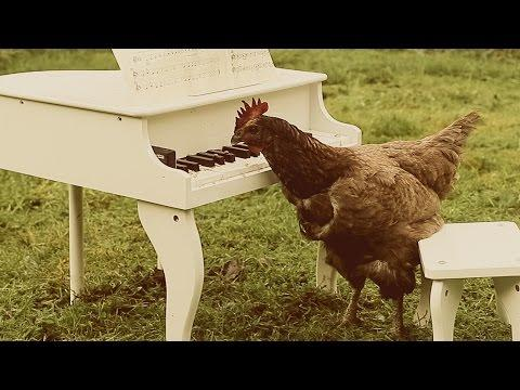 Chicken Plays Classical Symphony On Minature Piano