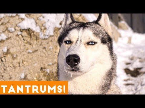 Funniest Pet Tantrum Compilation Ever October 2018   Funny Pet Videos