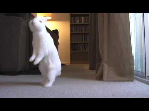 bunny walks like person video