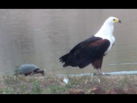 Slow Turtle Attacks An Eagle - Your Daily Dose Of Internet