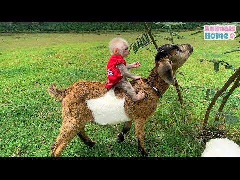 Bibi monkey riding goat in the meadow  #Video