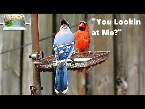 Cardinal Versus Blue Jay Staring Contest