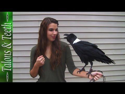 Meet Mischief The Talking Raven