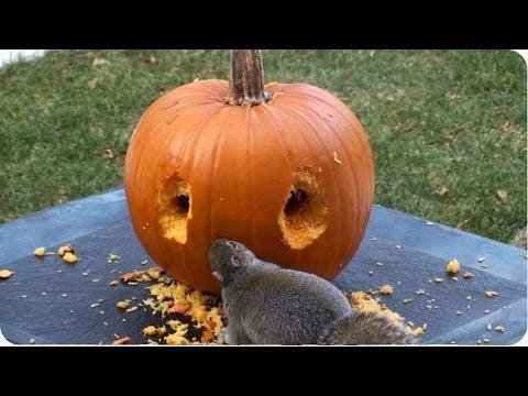 Squirrel Gets In Halloween Spirit And Carves His Own Pumpkin