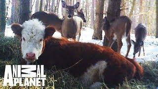 Animal Bites With Dave Salmoni: Bonnie The Runaway Calf