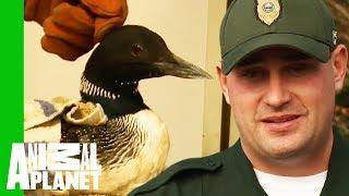 Has Toxic Lead Fishing Tackle Made This Loon Sick? | North Woods Law