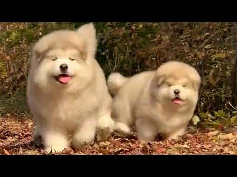 Bouncy Chubber Puppers Video