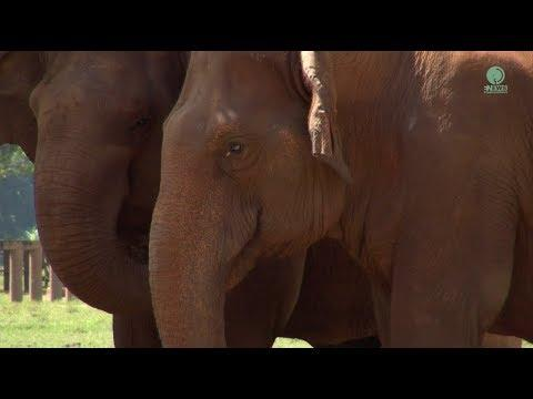 Mee Boon and Lucky Two Blind Elephant become friend