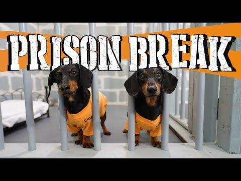 WIENER DOG PRISON BREAK VIDEO - Funny Dogs Escaping Jail!