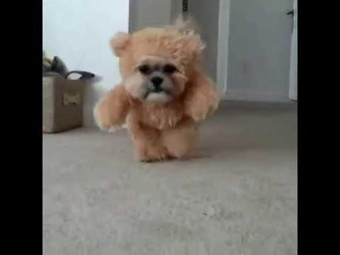 Munchkin The Shih Tzu Teddy Bear