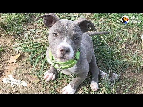 Pittie Puppy Sets Her Mind To Do The Impossible | The Dodo Pittie Nation