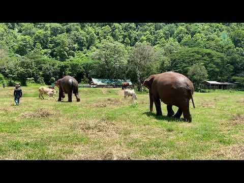 Elephant VS Cow #Video