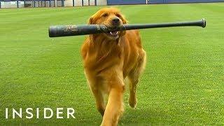 Dog Works As A Batboy At Baseball Games