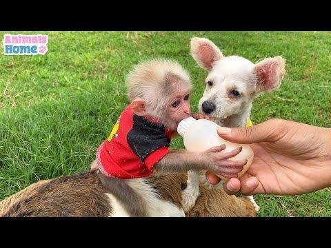 Monkey BiBi and puppy scramble for milk bottle #Video