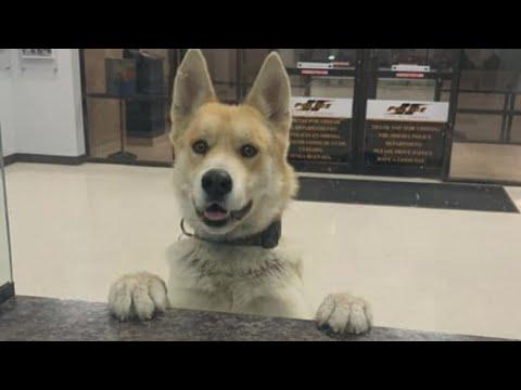 Just Visiting Video - Runaway Dog Drops By Police Station