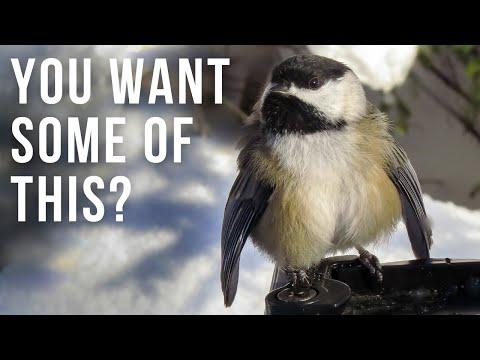 Cute and Interesting Chickadee Behavior Video | Body Ruffling Display
