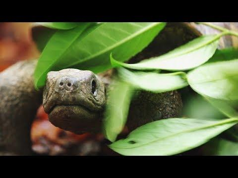 Spy Tortoise Adopted by Chimpanzee | Spy in The Wild | BBC Earth