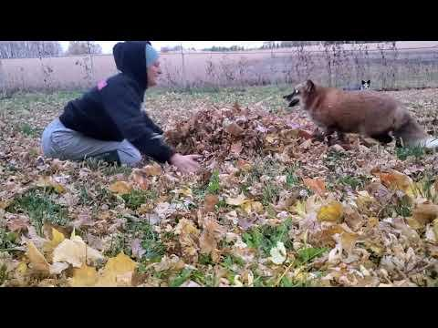 Finnegan Fox and Muttias plays in the leaves. SaveAFox Video