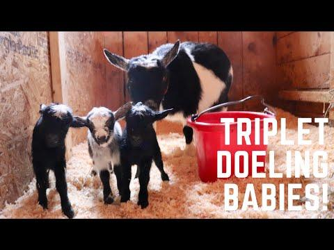 Triplet Goat Babies to Celebrate Earth Day!