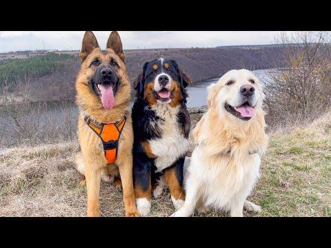 What a walk looks like with our Golden Retriever, German Shepherd and Bernese Mountain Dog Video