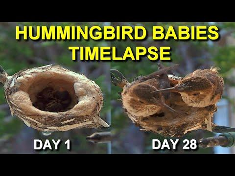 Hummingbird Babies from Hatching to Fledging the Nest #Video