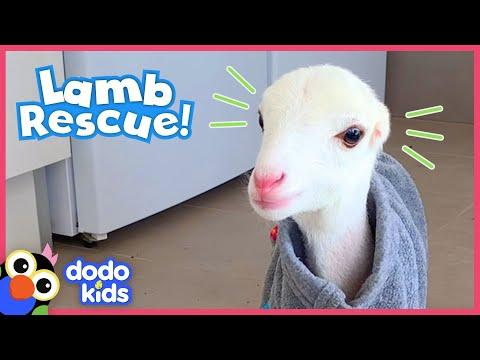 These Dog Rescuers Save a Lamb With No Ears Video | Animal Videos for Kids | Dodo Kids