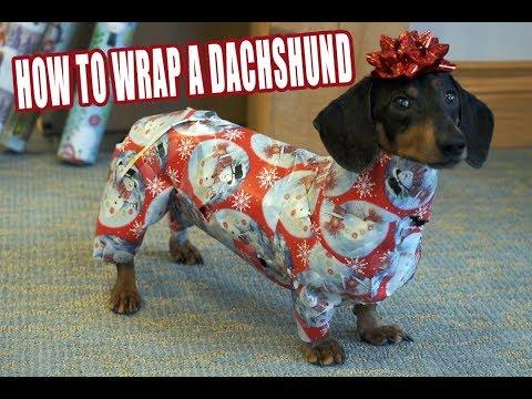 How to Wrap and UNWRAP a Dachshund! - Cute Dog Video