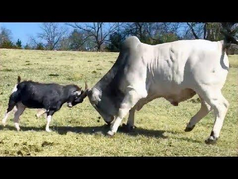 Clever Cows Funny Cows – Funny Cow Videos – Cute Cow & Horse Video