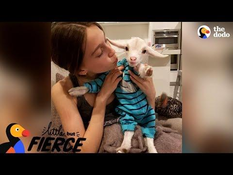 Baby Goat Is Pretty Sure He's A Dog | The Dodo Little But Fierce