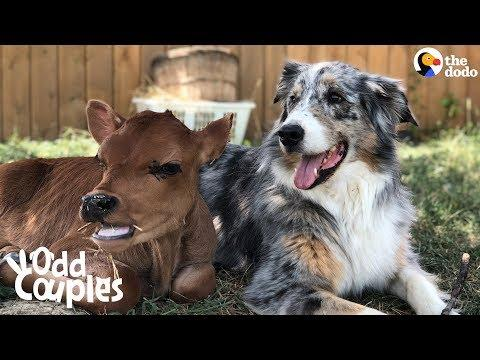 Dog Is SO Protective Of His Baby Cow Brother Video