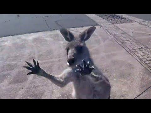 Kangaroo Gang Attacks Skydiver. Your Daily Dose Of Internet.