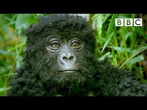 Robot Spy Gorilla Infiltrates A Wild Gorilla Troop